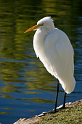 Autumn Photographs Photos - Great Egret by Bill Boehm