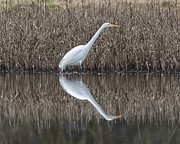 Bob Stevens - Great Egret