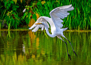 Bird Rookery Swamp Prints - Great Egret Print by Brian Stevens
