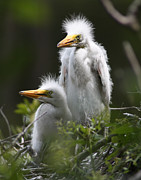 David Lynch Metal Prints - Great Egret Chicks Metal Print by David Lynch