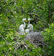 Fluffy Chicks Posters - Great Egret Chicks Poster by Louise Heusinkveld