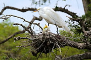 Egret Photo Prints - Great Egret Chicks - Sibling Rivalry Print by Carol Groenen