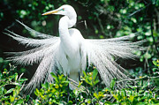 Breeding Posters - Great Egret Displaying Breeding Plumage Poster by Millard H. Sharp