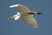 Duane Klipping - Great Egret