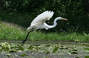 Neal Eslinger Framed Prints - Great Egret Elegance   Framed Print by Neal  Eslinger