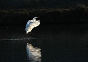 Elka Lange - great Egret