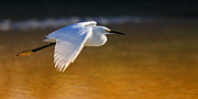 Alexander Galiano Posters - Great Egret Flying Poster by Alexander Galiano