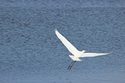 Mark Perez - Great Egret Flying