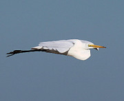 John Dart - Great Egret Glide