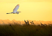 Deb  Kestler - Great Egret in Flight at...