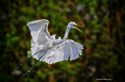 Pasco County Prints - Great Egret in flight Print by Barbara Bowen