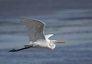 Egret Photos - Great Egret in Flight by Dave Sumner