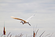 Jean Haynes - Great Egret in Flight