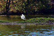 Susan Wiedmann - Great Egret In Its Realm
