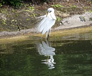 Zulfiya Stromberg - Great egret in the lake
