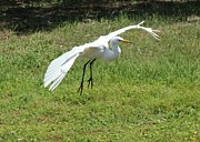 Theresa Willingham - Great Egret Landing