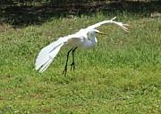 Great Egret Landing Print by Theresa Willingham