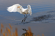 Tim Moore Prints - Great Egret Landing Print by Tim Moore