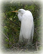 Martha Lyle - Great Egret