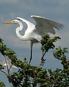 Bird Rookery Swamp Posters - Great Egret Poster by Melissa Peterson
