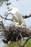 Egret Art - Great Egret Nest with Chicks and Mama by Carol Groenen