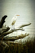 Tree Roots Photo Framed Prints - Great Egret on a Fallen Tree Framed Print by Joan McCool