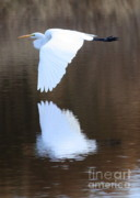 Egret Metal Prints - Great Egret over the Pond Metal Print by Carol Groenen