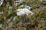 Great Birds Posters - Great Egret Pair Poster by Carol Groenen