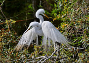 Kathy Baccari - Great Egret Pair