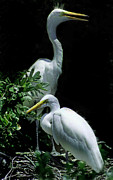 Photos Of Birds Photo Framed Prints - Great Egret Pair Framed Print by Skip Willits