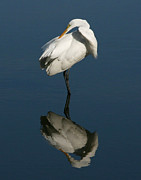 David Lynch Posters - Great Egret Reflection 11X14 Poster by David Lynch