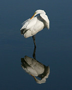 David Lynch Posters - Great Egret Reflection 16X20 Poster by David Lynch