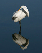 David Lynch Posters - Great Egret Reflection 8X10 Poster by David Lynch
