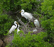 Fluffy Chicks Posters - Great Egret Rookery Poster by Louise Heusinkveld