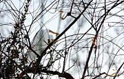 Blending Photos - Great Egret Roosting in Winter by Susan Wiedmann