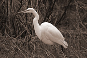 Tim Moore Prints - Great Egret Sepia Print by Tim Moore