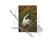 Great Egret Posters - Great Egret - stretch Poster by Andrew McInnes