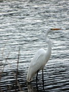 Teresa Schomig - Great Egret