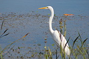 Mark Perez - Great Egret thinking