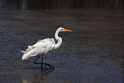 Bob and Jan Shriner - Great Egret Walking