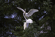 Tim Moore Metal Prints - Great Egret Waltz Metal Print by Tim Moore