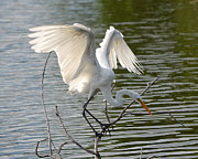 Diana Berkofsky - Great Egret Wings