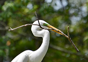 Kathy Baccari - Great Egret With A Nest...