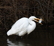 Jack Nevitt - Great Egret with Big Fish