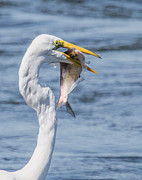 Susi Stroud - Great Egret with Fish