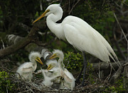 Great Egret Posters - Great Egret With Young Poster by Bob Christopher