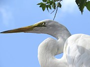Zulfiya Stromberg - Great egret
