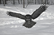 Paul OToole - Great Gray Owl...