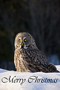 Nature Photograph Posters - Great Gray Owl Christmas Card 13 Poster by Michael Cummings
