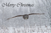Bird Pictures Framed Prints - Great Gray Owl Christmas Card 2 Framed Print by Michael Cummings